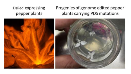 Pepper Genome Editing-Cas9 Stable Transformation