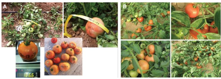 High Heat & TYLCV Resistant Tomatoes